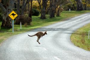 Driving with Kangaroos on the Road in Australia